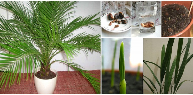 Grow Date Palm from Seeds