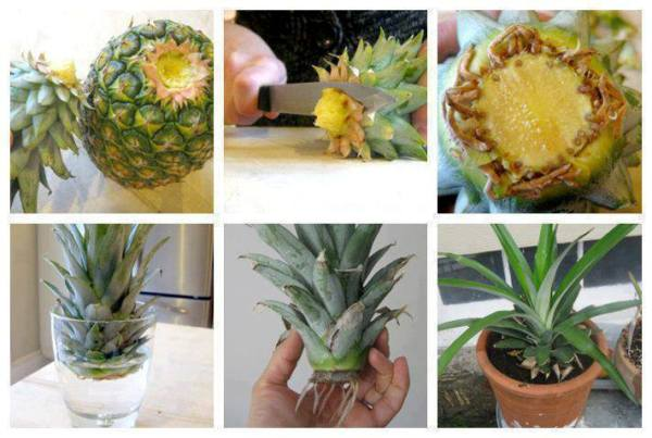 grow Pineapple home1