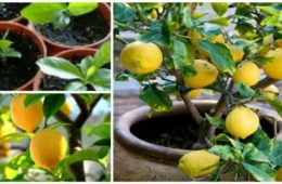 How To Grow An Unlimited Supply Of Lemons Using Just 1 Seed 600x314