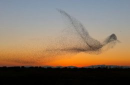 giant bird marmuration starlings daniel biber photography 7 5a4c8a0394e3e 880