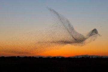 giant bird marmuration starlings daniel biber photography 7 5a4c8a0394e3e  880