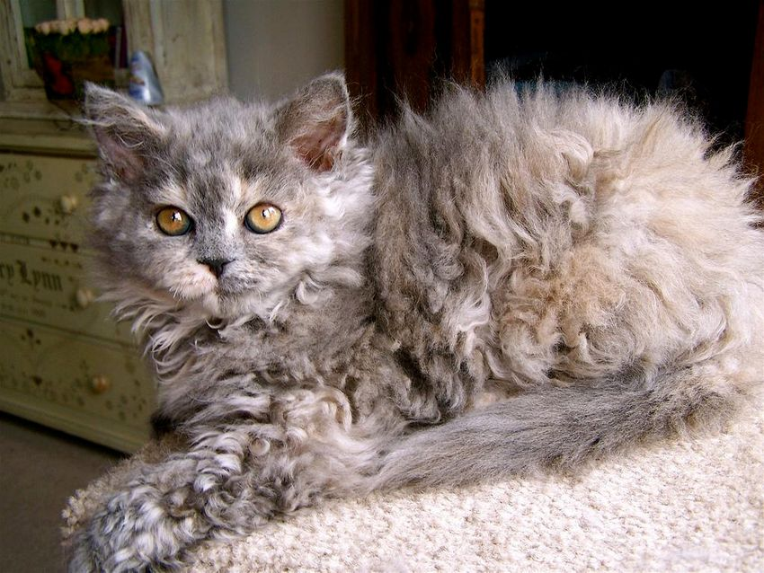 Selkirk rex poil court long race origine robe standard caract C3 A8re f C3 A9lin chats animal animaux compagnie animogen