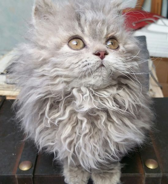 selkirk rex chat mouton loof 20160203103658