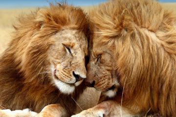 animals hero lions 0