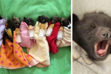 adorable orphaned baby bats australian bat clinic fb  700