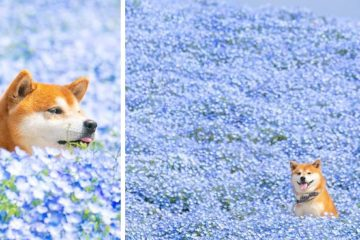 shiba inu dog flower fields photography masayo ishizuki japan fb23 png 700