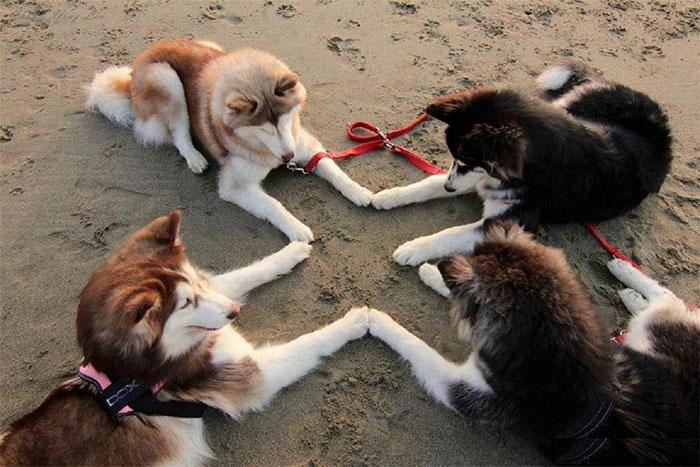 cute huskies 22 5aaa63964595f 700