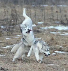 cute huskies 73 5ab0c6d63f059 700