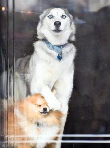 cute huskies 78 5ab0d3c576f26 700