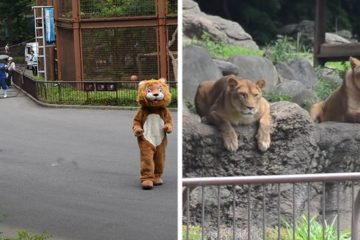 funny lion escape drill tobe zoo japan fb13 png 700