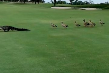ducks chase alligator across golf course fb1 png 700
