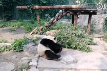 touristes chinois lancent pierres panda zoo pekin 01