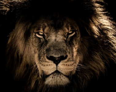 african lion 2888519 960 720