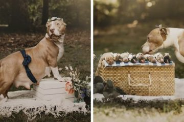 pregnant pit bull cute maternity photo shoot fb8 png 700