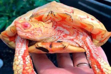 albino turtles fb png  700