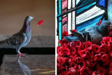 pigeon poppies nest remembrance day australian war memorial fb png  700